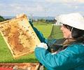 Převčelená krajina a nesmyslná vyšetření. Včelaři sčítají katastrofální ztráty